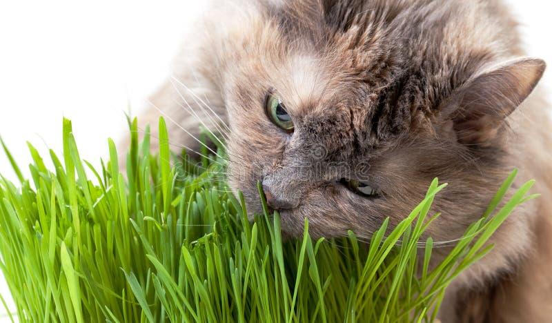 Eine Haustierkatze, die frisches Gras isst stockfotos