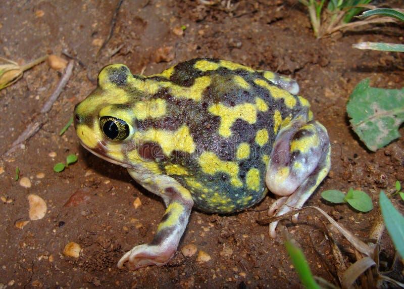 Eine helle gelbe Kröte, die Spadefoot Kröte stockfoto