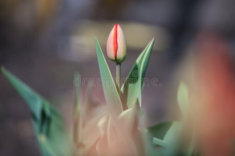 Eine hellroten geschlossenen Holländer Tulip Bud in der Nahaufnahme auf einem Gartenplan auf einem grauen unscharfen Hintergrund stockbild