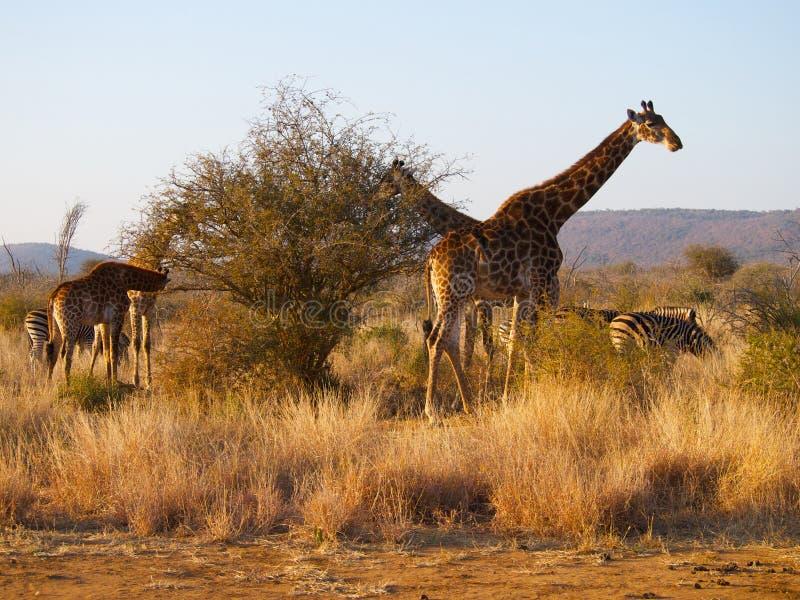 Eine Herde der Giraffe und des Zebras stockfotos