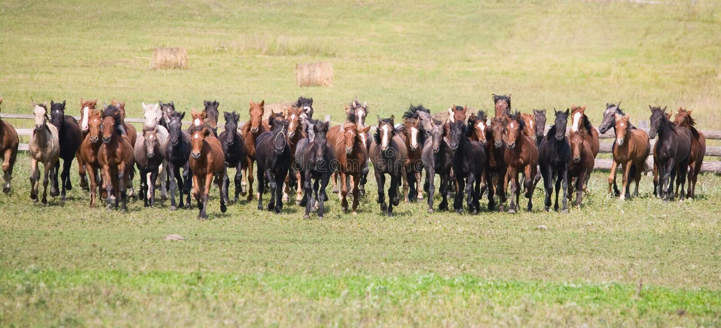 Eine Herde der jungen Pferde stockfoto