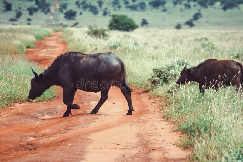 Eine Herde des Büffels einen Schotterweg im Taita-Hügel-Naturschutzgebiet, Voi, Kenia kreuzend stockfoto