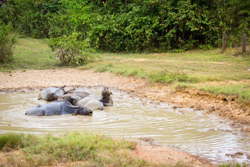 Eine Herde des Büffels liegt im Schlamm lizenzfreie stockbilder