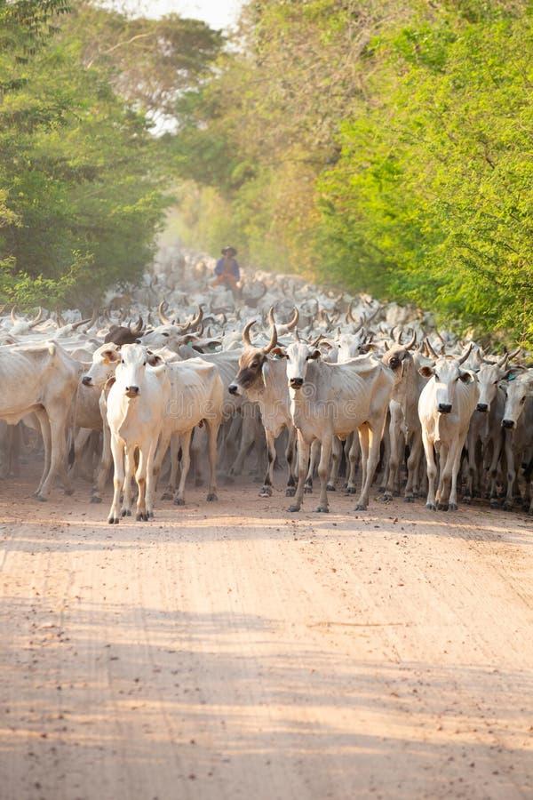 Eine Herde des Viehs gefahren von einem Gaucho lizenzfreies stockfoto