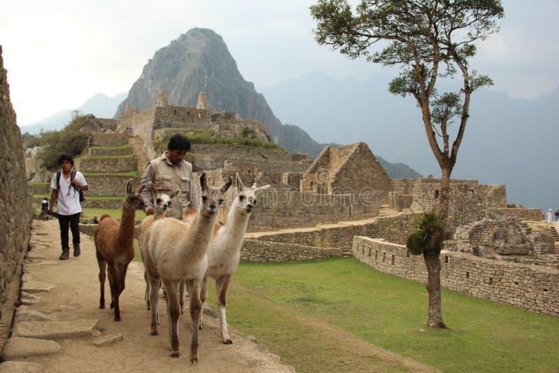 Eine Herde jungen Lama ` s lizenzfreie stockbilder
