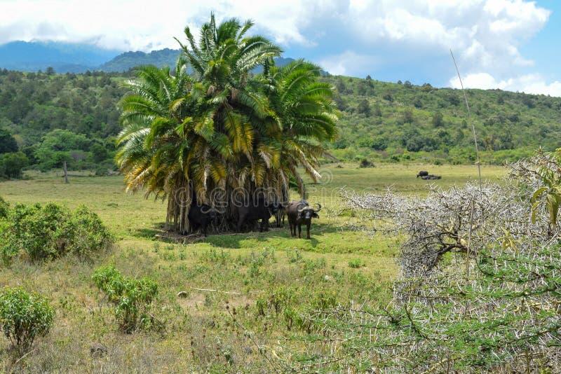Eine Herde von afrikanischen Büffeln an Nationalpark Arushas, Tansania lizenzfreie stockbilder