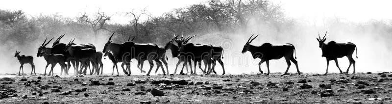 Eine Herde von Antilopen in der afrikanischen Wüste lizenzfreie stockfotografie