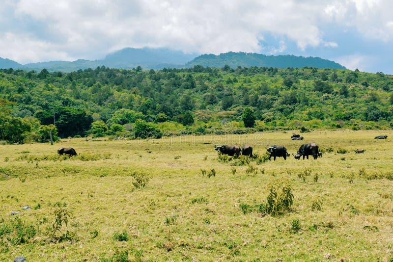 Eine Herde von Büffeln an Nationalpark Arushas, Tansania lizenzfreies stockbild