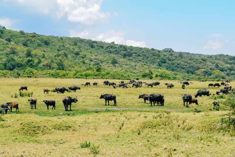 Eine Herde von Büffeln an Nationalpark Arushas, Tansania stockfotografie