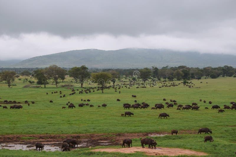 Eine Herde von Büffeln am Taita-Hügelnaturschutzgebiet, Kenia stockbilder
