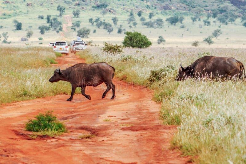 Eine Herde von den afrikanischen Büffeln, die einen Schotterweg im Taita-Hügel-Naturschutzgebiet, Voi, Kenia kreuzen stockfoto