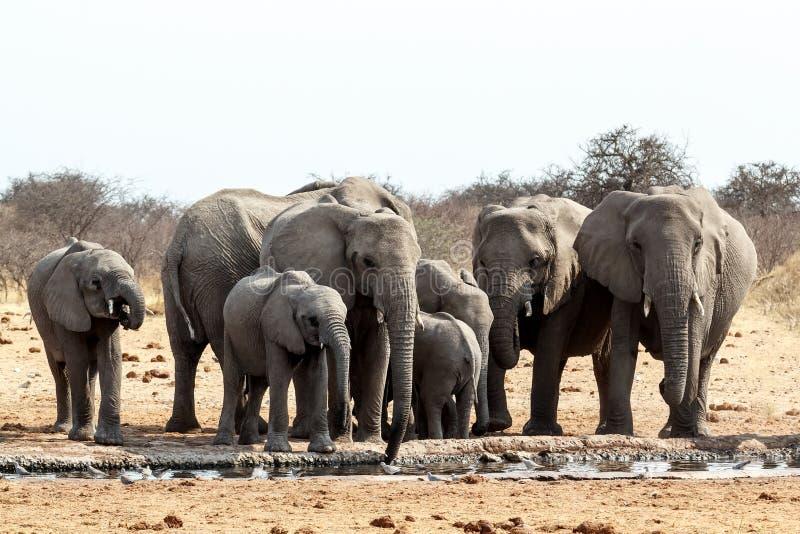 Eine Herde von den afrikanischen Elefanten, die an einem schlammigen waterhole trinken lizenzfreies stockbild