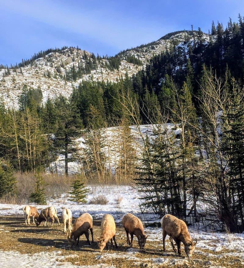 Eine Herde von den Gebirgsziegen, die entlang der Seite der Landstraße während des Winters in Jasper National Park, Alberta, Kana lizenzfreie stockbilder