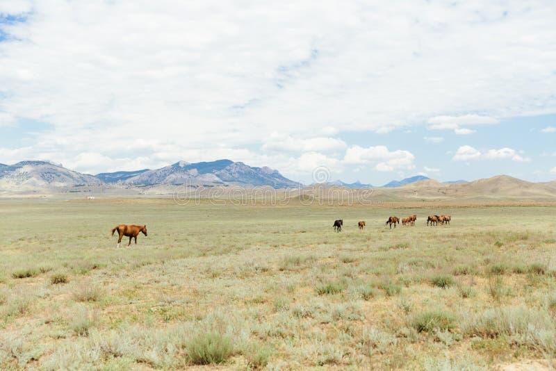 Eine Herde von den jungen braunen Pferden, die über das Feld laufen Sommer, draußen lizenzfreies stockfoto