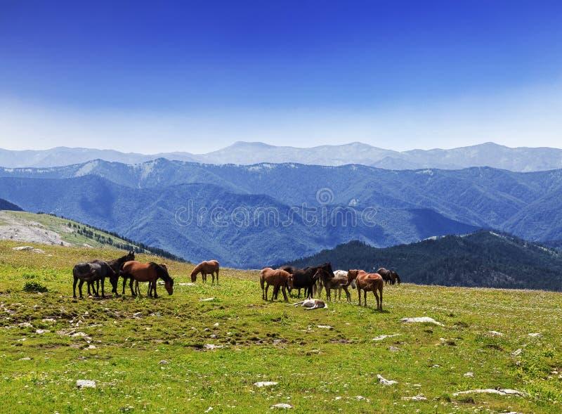 Eine Herde von den Pferden, die in den Altai-Bergen weiden lassen lizenzfreie stockbilder
