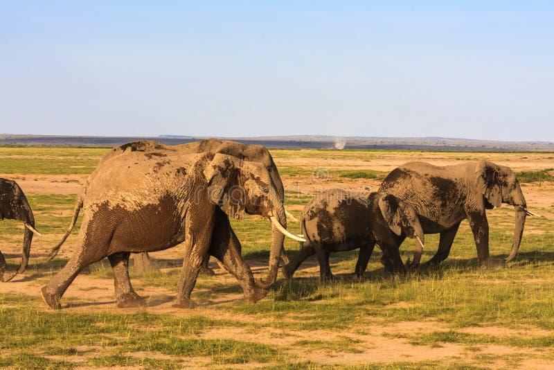 Eine Herde von Elefanten steigt in den Abstand ein Kenia, Afrika lizenzfreie stockfotografie