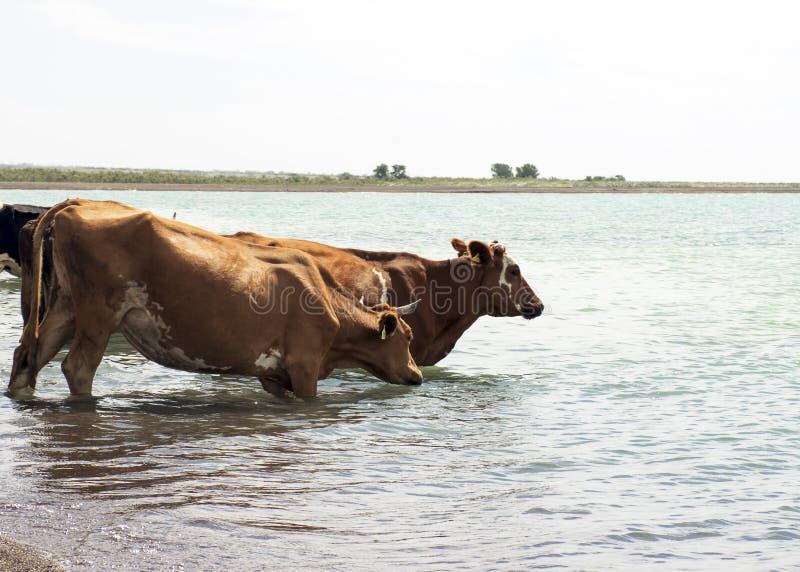 Eine Herde von Kühen kam zu trinken Dürre auf Weide Ein Stier schützt Kühe an einer Wasserentnahmestelle lizenzfreies stockfoto