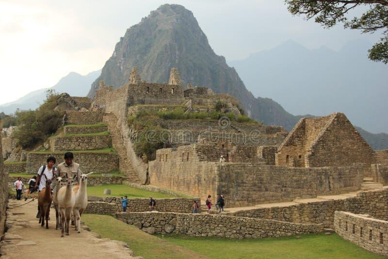 Eine Herde von Lama ` s bei Machu Picchu lizenzfreies stockbild