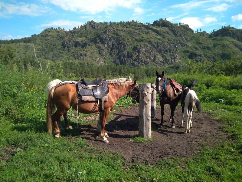 Eine Herde von Pferd-podsednik für das Wandern nahe dem einhängenden Posten erwartet Reisende für eine Wanderung in den Altai-Ber lizenzfreies stockfoto