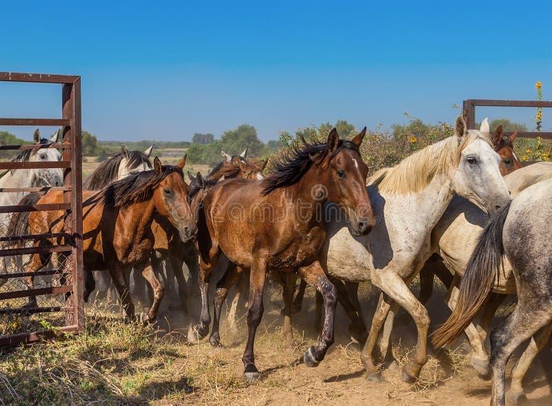 Eine Herde von Pferden läuft aus der Hürde heraus stockfotos