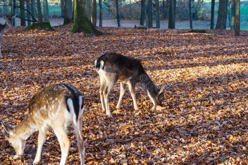 Eine Herde von Rotwild im herbstlichen Wald lizenzfreies stockfoto