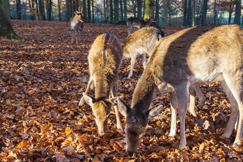 Eine Herde von Rotwild im herbstlichen Wald lizenzfreie stockfotos