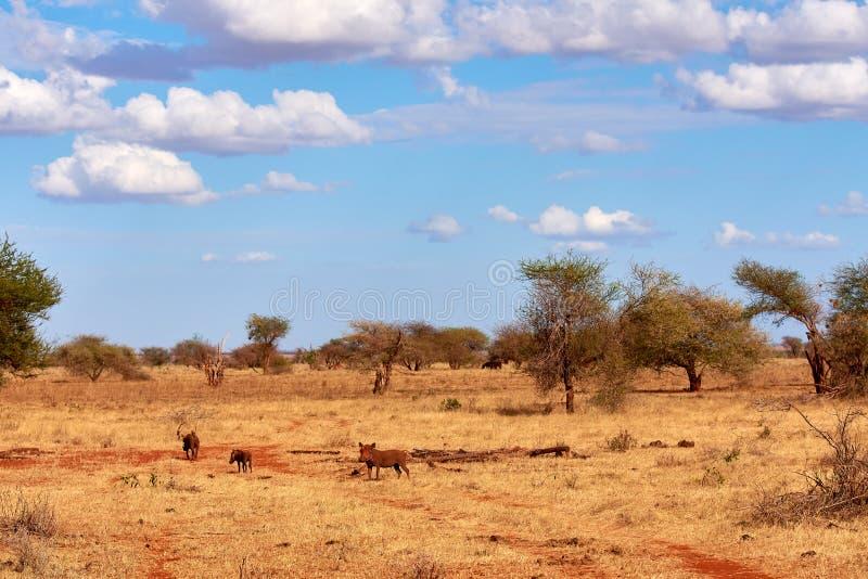 Eine Herde von Warzenschweinen ist wild summend und in der Safari in Kenia, Afrika Bäume und Gras lizenzfreie stockbilder