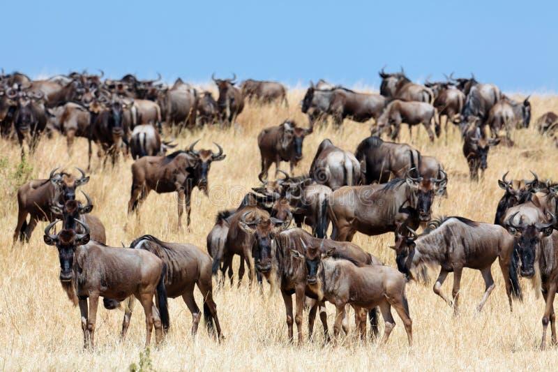 Eine Herde Von Wildebeest Migrieren Auf Die Savanne Stockbilder