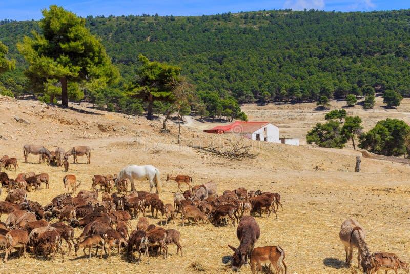 Eine Herde von wilden Tieren - Esel, Ziegen, Ponys, Schafe, Rotwild, Pferde - lassen Sie im beträchtlichen Gebiet des Safari-Park stockfotografie