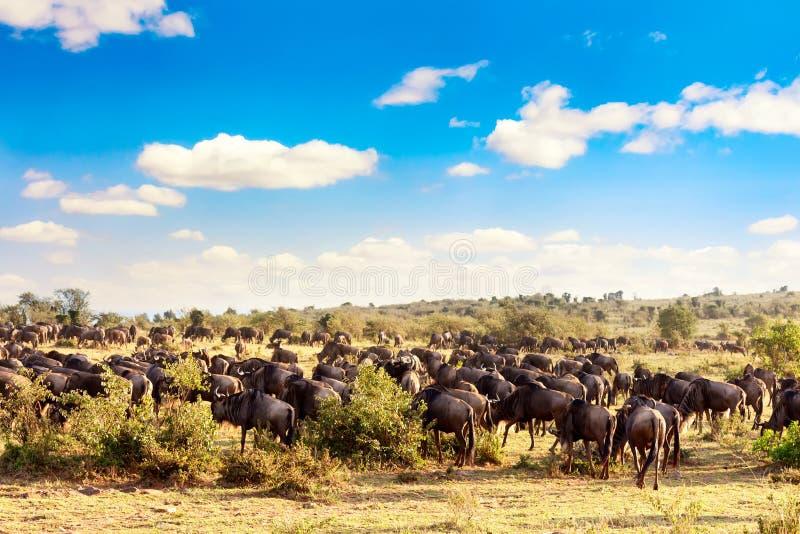 Eine Herde von Wildtieren während der großen Migration im Masai Mara Nationalpark Kenia, Afrika lizenzfreie stockfotografie