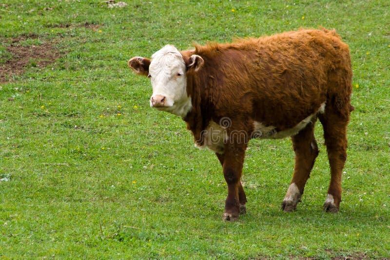 Eine Hereford Kuh in einer Weide. stockfotos