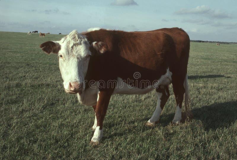 Eine Hereford Rindfleischkuh in einer Weide lizenzfreies stockbild