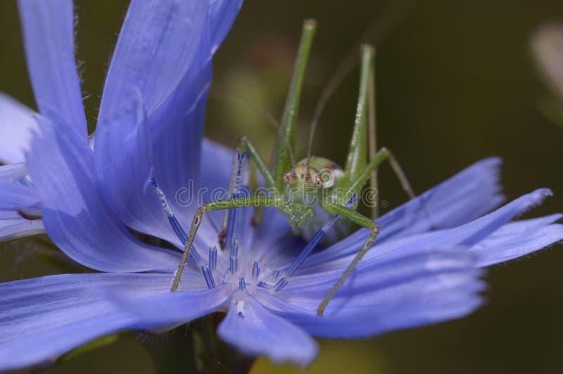 Eine Heuschrecke, Acrididae, Stampfen essend lizenzfreie stockbilder