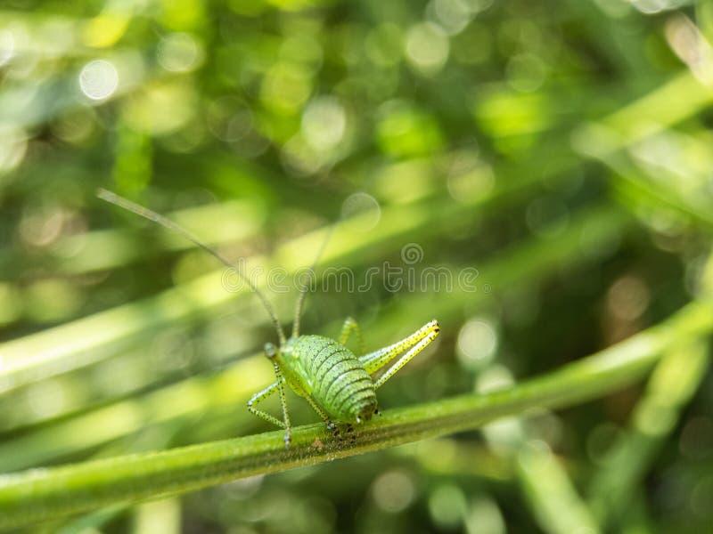 Eine Heuschrecke im Grün stockfotografie