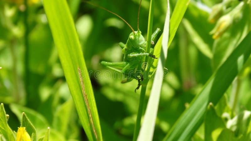 Eine Heuschrecke sitzt auf dem Gras lizenzfreies stockfoto