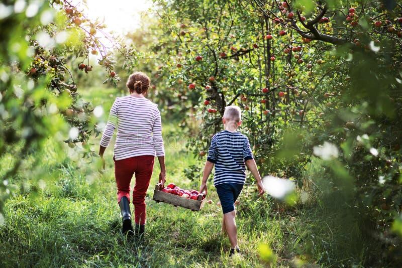 Eine hintere Ansicht der Großmutter mit tragender Holzkiste des Enkels mit Äpfeln im Obstgarten stockbilder