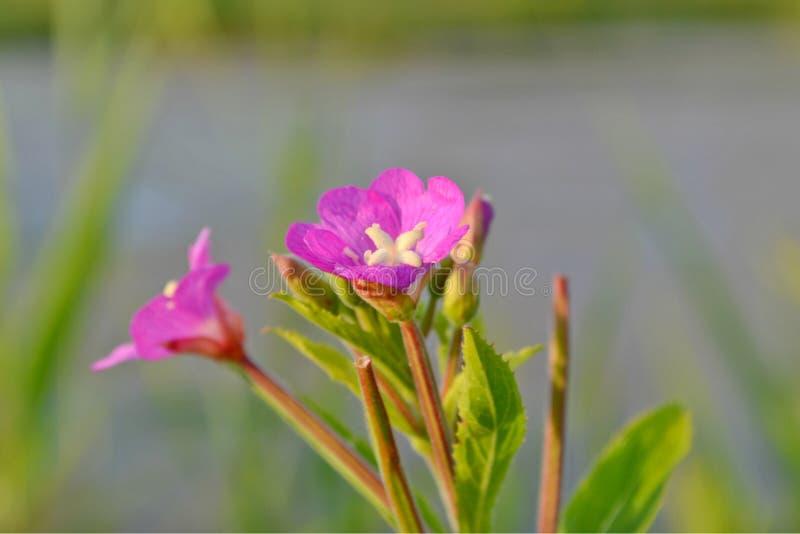 Eine hochrote Blume in der Wiese lizenzfreie stockfotografie