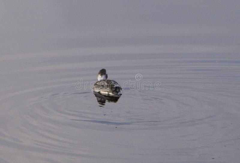 Eine hohe nahe und persönliche Ansicht von Drake Mallard im Wasser Ente lizenzfreie stockbilder