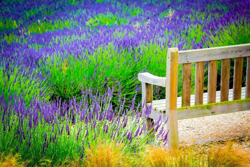 Eine Holzbank und Lavendelfelder in England, Großbritannien lizenzfreie stockbilder