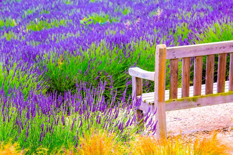 Eine Holzbank und Lavendelfelder in England, Großbritannien stockfotografie