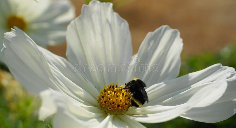 Eine Hummel auf einer schönen Kosmosblume lizenzfreie stockbilder