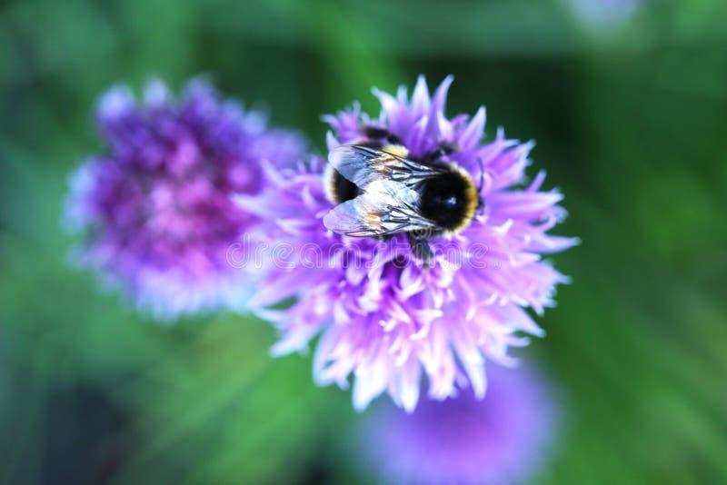 Eine Hummel auf Schnittlauch-Blume stockbild