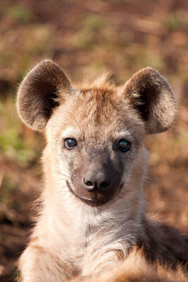 Eine Hyäne, die sich hinlegt lizenzfreies stockfoto