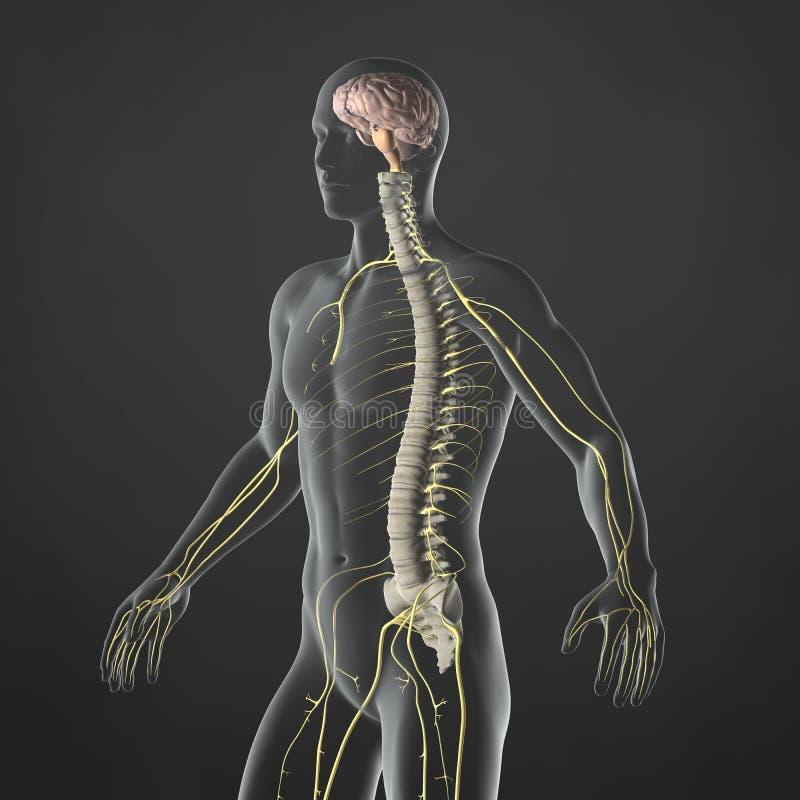 Beste Männliche Fortpflanzungssystem Anatomie Bilder Bilder ...