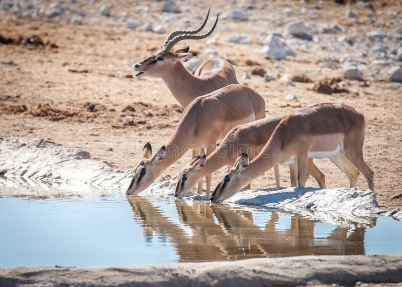 Eine Impala und sein Harem, Nationalpark Etosha, Namibia stockfotografie