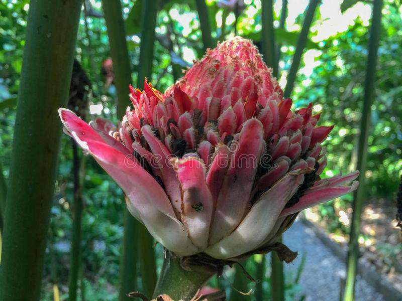 Eine indonesische Kaffeeplantage mit einem Blumenblühen lizenzfreies stockbild