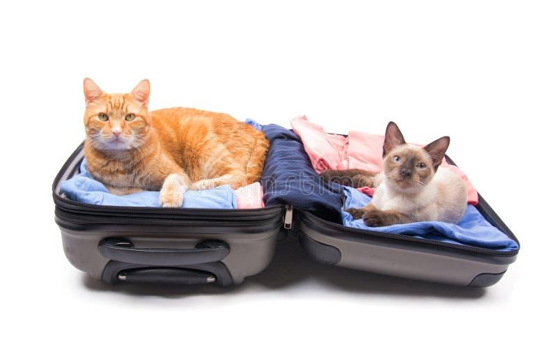 Eine Ingwergetigerte katze und eine junge siamesische Katze, die bequem sich in einem Koffer hinlegen lizenzfreies stockbild