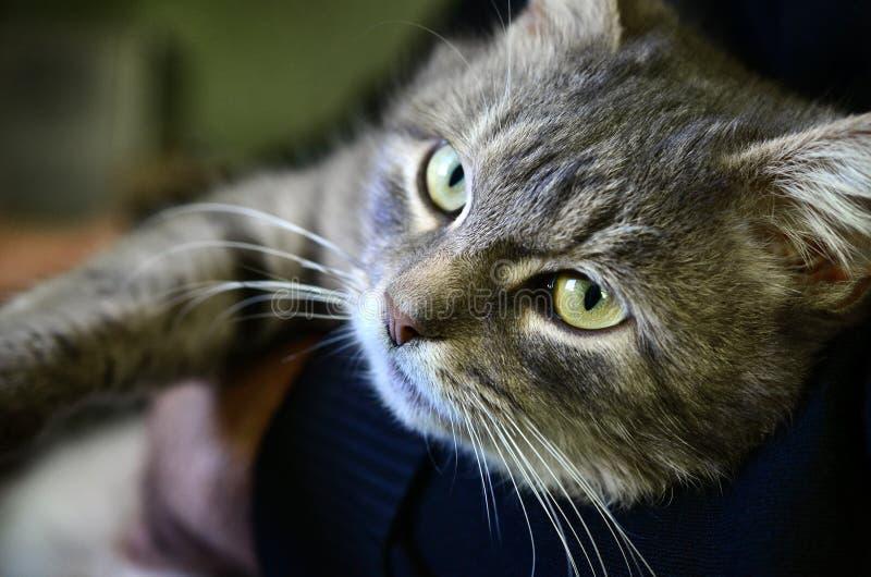 Eine junge graue Katze liegt auf den Händen seines Inhabers Das Haustier steht still stockbilder