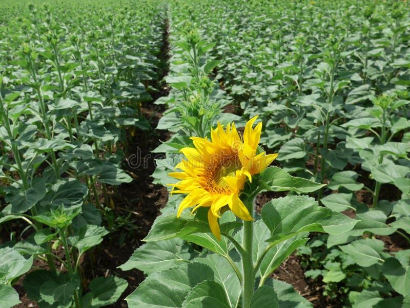 Eine junge Sonnenblume lizenzfreies stockbild