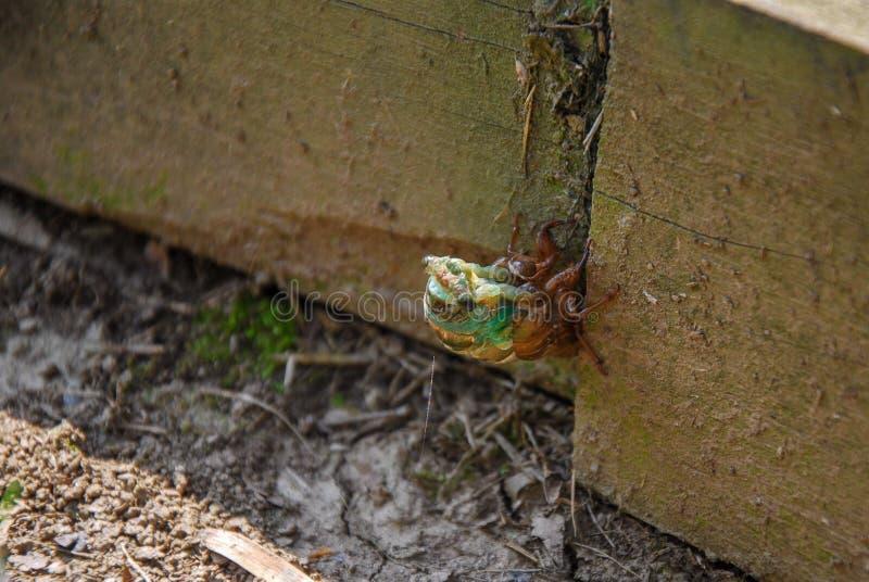 Eine junge Zikade, die den Nymphe Exoskeleton verschüttet stockfotos